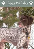 German Short Haired Pointer-Happy Birthday (No Theme)
